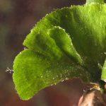 alga ventaglio 40 150x150 Udotea petiolata   Alga ventaglio