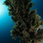 alga ventaglio 41 150x150 Udotea petiolata   Alga ventaglio