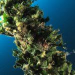 alga ventaglio 42 150x150 Udotea petiolata   Alga ventaglio
