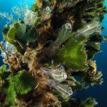 alga ventaglio 43 150x150 Udotea petiolata   Alga ventaglio
