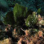 alga ventaglio 44 150x150 Udotea petiolata   Alga ventaglio