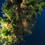alga ventaglio 46 150x150 Udotea petiolata   Alga ventaglio