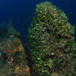 alga ventaglio 52 150x150 Udotea petiolata   Alga ventaglio