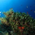 alga ventaglio 53 150x150 Udotea petiolata   Alga ventaglio