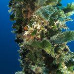 alga ventaglio 55 150x150 Udotea petiolata   Alga ventaglio