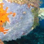 anchinoe azzurra 07 150x150 Anchinoe azzurra