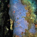 anchinoe azzurra 11 150x150 Anchinoe azzurra
