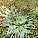 anemone arancione 14 150x150 Condylactis aurantiaca   Anemone arancione