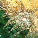 anemone bruno 03 150x150 Aiptasia mutabilis   Anemone bruno