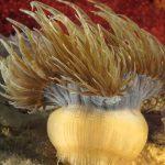 anemone bruno 104 150x150 Aiptasia mutabilis   Anemone bruno