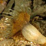 anemone bruno 107 150x150 Aiptasia mutabilis   Anemone bruno