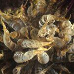 anemone bruno 109 150x150 Aiptasia mutabilis   Anemone bruno