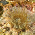anemone bruno 115 150x150 Aiptasia mutabilis   Anemone bruno