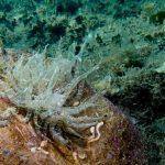 anemone bruno 18 150x150 Aiptasia mutabilis   Anemone bruno