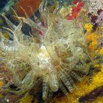 anemone bruno 23 150x150 Aiptasia mutabilis   Anemone bruno