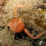 anemone bruno 24 150x150 Aiptasia mutabilis   Anemone bruno