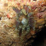 anemone bruno 30 150x150 Aiptasia mutabilis   Anemone bruno