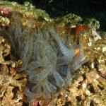 anemone bruno 38 150x150 Aiptasia mutabilis   Anemone bruno