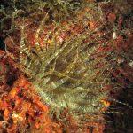 anemone bruno 46 150x150 Aiptasia mutabilis   Anemone bruno