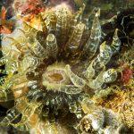 anemone bruno 47 150x150 Aiptasia mutabilis   Anemone bruno