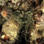 anemone bruno 52 150x150 Aiptasia mutabilis   Anemone bruno