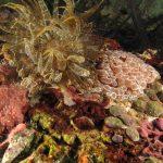 anemone bruno 55 150x150 Aiptasia mutabilis   Anemone bruno
