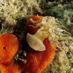 anemone bruno 57 150x150 Aiptasia mutabilis   Anemone bruno