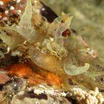 anemone bruno 74 150x150 Aiptasia mutabilis   Anemone bruno