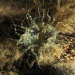 anemone bruno 78 150x150 Aiptasia mutabilis   Anemone bruno