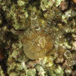 anemone bruno 81 150x150 Aiptasia mutabilis   Anemone bruno
