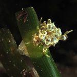 anemone bruno 84 150x150 Aiptasia mutabilis   Anemone bruno