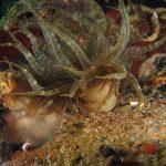 anemone bruno 87 150x150 Aiptasia mutabilis   Anemone bruno
