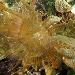 anemone bruno 88 150x150 Aiptasia mutabilis   Anemone bruno