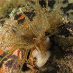 anemone bruno 91 150x150 Aiptasia mutabilis   Anemone bruno