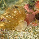 anemone bruno 98 150x150 Aiptasia mutabilis   Anemone bruno