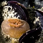 anemone delle cozze 22 150x150 Anemone diadumene