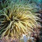 anemone di mare 02 150x150 Anemonia viridis (sulcata)   Anemone di mare