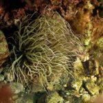 anemone di mare 108 150x150 Anemonia viridis (sulcata)   Anemone di mare