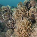 anemone di mare 12 150x150 Anemonia viridis (sulcata)   Anemone di mare