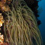 anemone di mare 13 150x150 Anemonia viridis (sulcata)   Anemone di mare