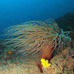 anemone di mare 18 150x150 Anemonia viridis (sulcata)   Anemone di mare