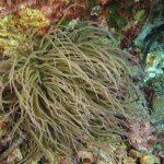 anemone di mare 84 150x150 Anemonia viridis (sulcata)   Anemone di mare