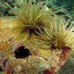 anemone di mare 90 150x150 Anemonia viridis (sulcata)   Anemone di mare