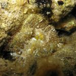 anemone disco 03 150x150 Anemone disco
