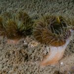 anemone disco 17 150x150 Anemone disco