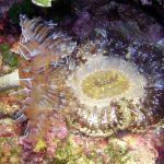 anemone margherita 01 150x150 Cereus pedunculatus  Anemone margherita