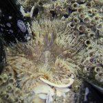 anemone margherita 03 150x150 Cereus pedunculatus  Anemone margherita