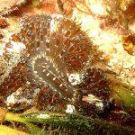 anemone margherita 04 150x150 Cereus pedunculatus  Anemone margherita