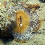 anemone margherita 09 150x150 Cereus pedunculatus  Anemone margherita