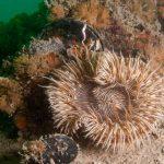anemone margherita 19 150x150 Cereus pedunculatus  Anemone margherita